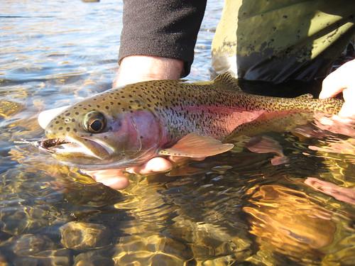 McKenzie River Wild Rainbow