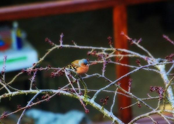 Pinson des arbres - Fringilla coelebs