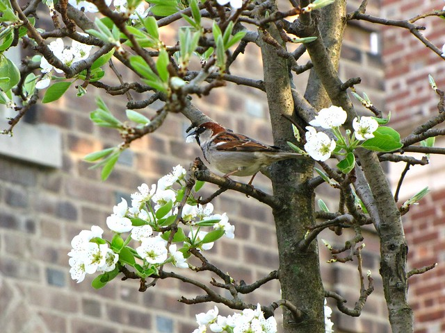 Sparrow Eating Pear Blossom