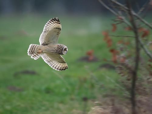 Short-eared Owl-flight