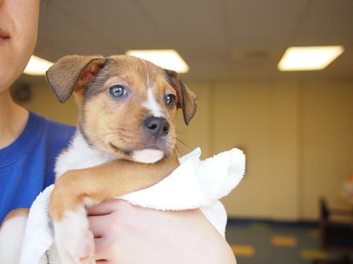 p1 hound/lab puppies