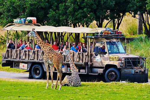 Giraffe Models, originally uploaded by Scottwdw. Reticulated Giraffes (Giraffa camelopardalis reticulata) posing for guests on the Kilimanjaro Safari attraction at Disney's Animal Kingdom.