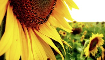 sunflower near ventersdorp