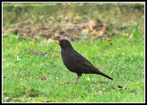 Blackbird ♂