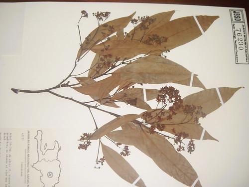 Ocotea globosa, Nectandra antillana, Nectandra oligoneura