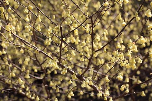 Buttercup winter-hazel / Corylopsis pauciflora / 日向水木(ヒュウガミズ…