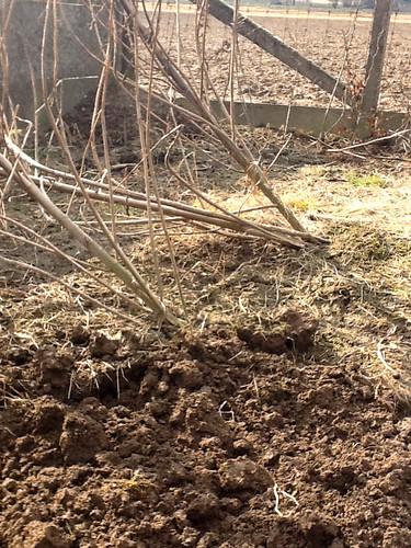 Scheefgewaaide aardpeerplanten