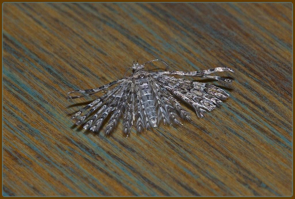Alucita montana, Six-plume moth