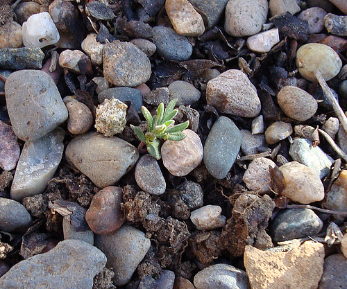 Lavender Sprout 20120212