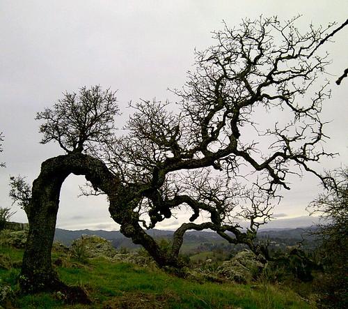 Bent Oak Tree