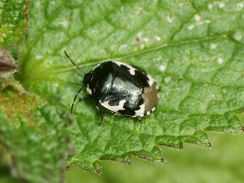 Pied Shieldbug (Tritomegas bicolor)