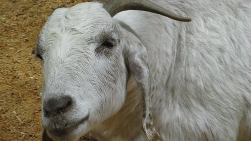 sarcastic goat face