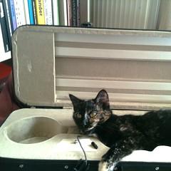violin-case cat