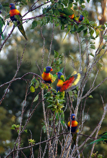Rainbow parrots pairing