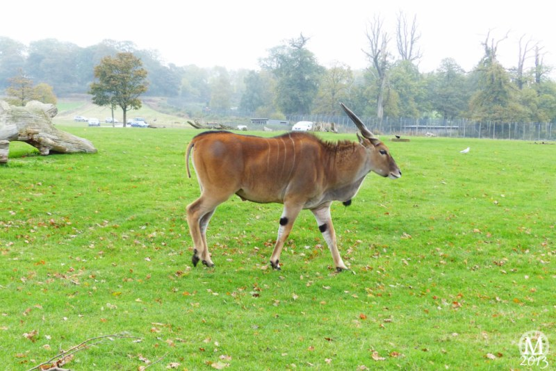 Sable Antelope