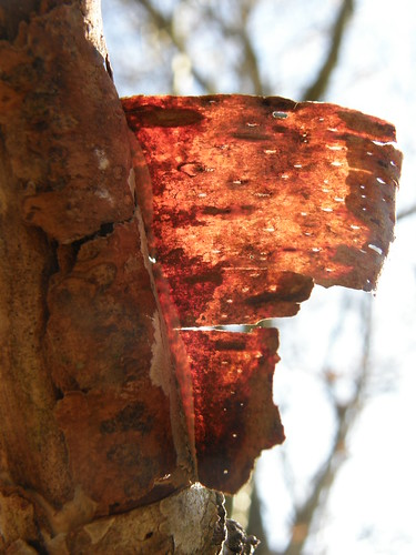 Backlit birch bark