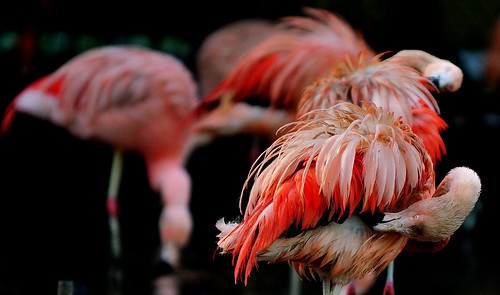 Caribbean Red Flamingo