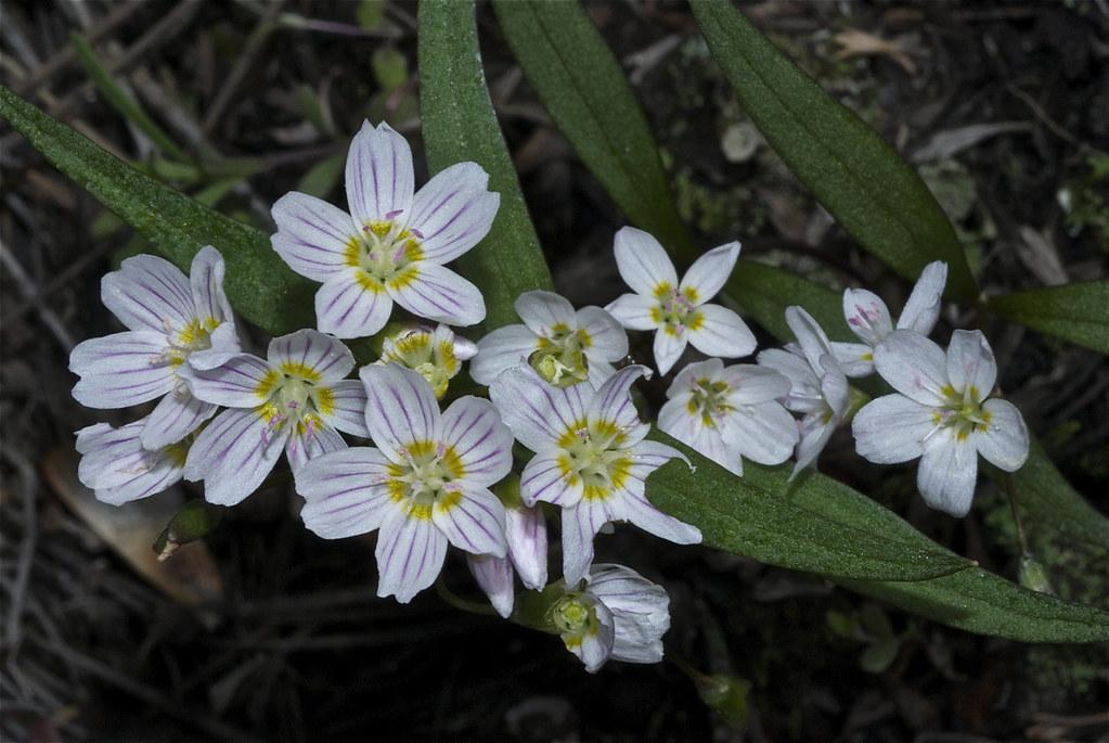 Western Spring Beauty, Lanceleaf Springbeauty