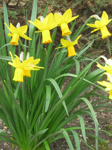Daffodils are a sign of Spring