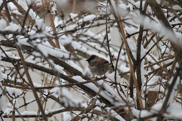 Sparrow / Moineau / Vrabec