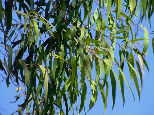 Lemon Scented Gum leaves Corymbia citriodora Myrtaceae 5612