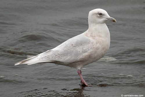 Iceland Gull, 4cy