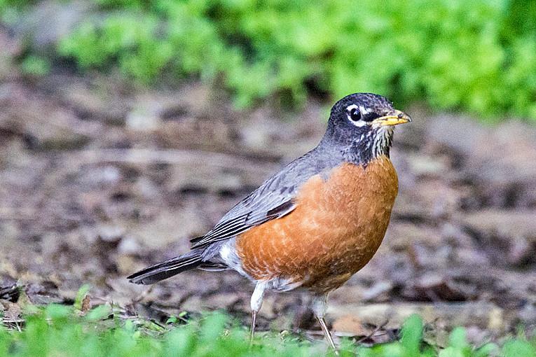 _DSC9799 American Robin