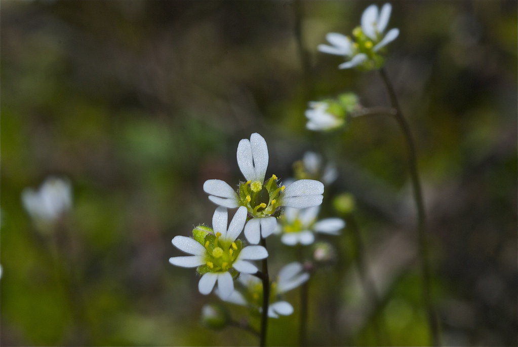 Spring Draba, Spring Whitlow Grass, Whitlow Grass