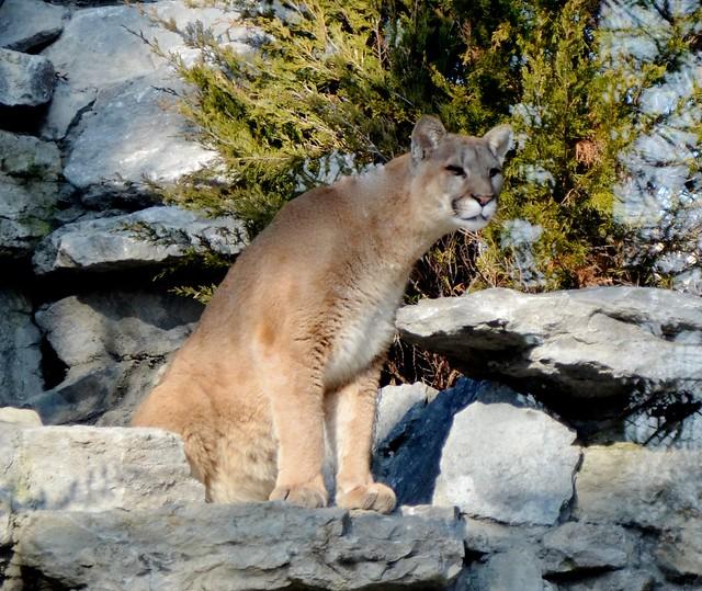 Watchful Tecumseh