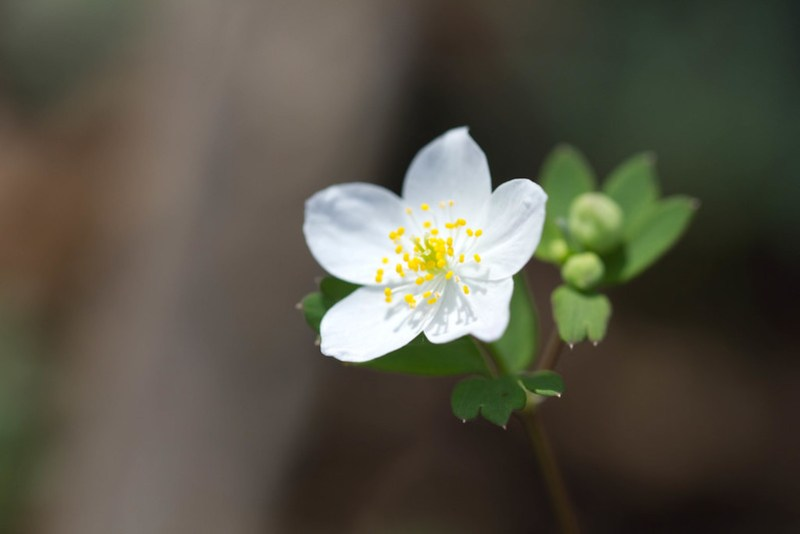 False Rue-Anemone