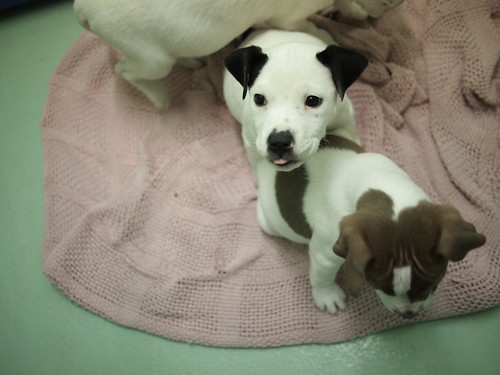 P4 hound mix puppies