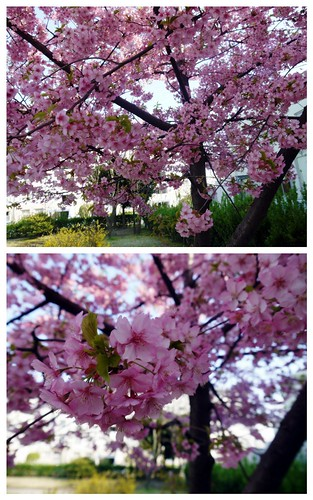 early bloom sakura