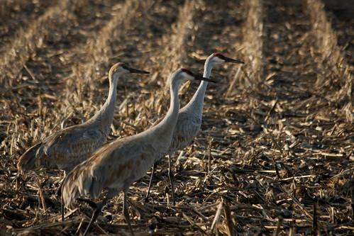 cranes 019