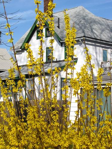 A House & the Forsythias