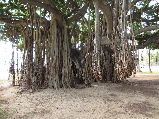 Banyan Tree - Oahu