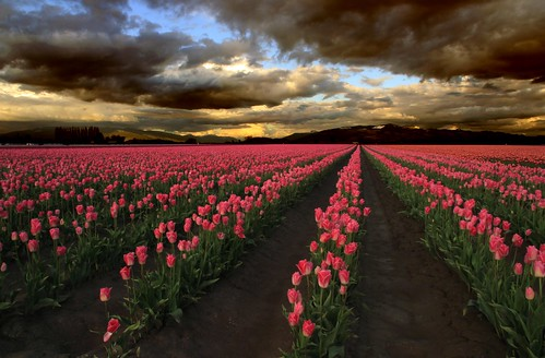 Pinks and Stormy Clouds, Skagit Valley Tulip Festival by i8seattle