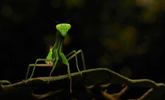 Giant Asian Mantis Nymph (Hierodula patellifera)