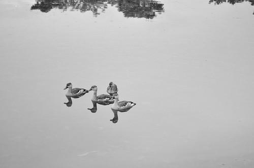 Ducks :D