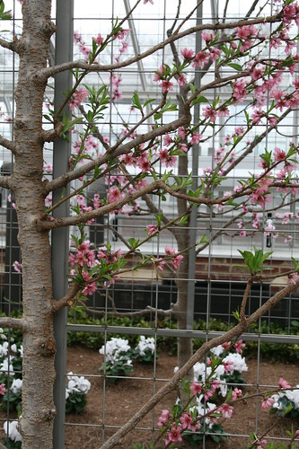 Nectarine blooms