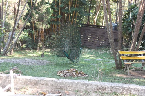 20120117_1924_peacock