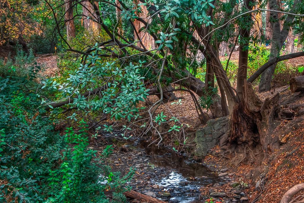 Strawberry Creek through the Eucalyptus Grove