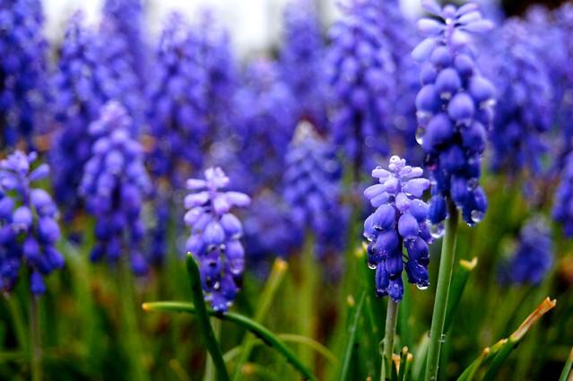 Grape Hyacinth 1