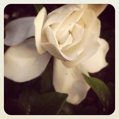 #asmellyouadore gardenias