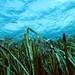 AMP Posidonia (Posidonia oceanica)2