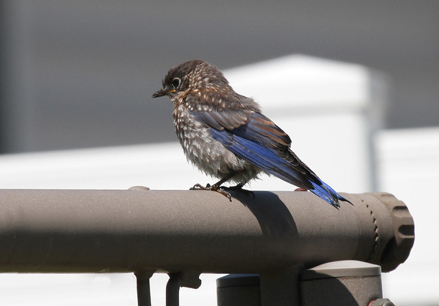 Baby bluebird on the swing