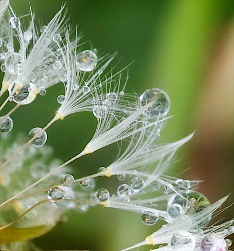 Inside Dandelions