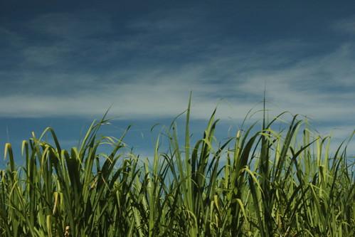 Northern NSW sugarcane