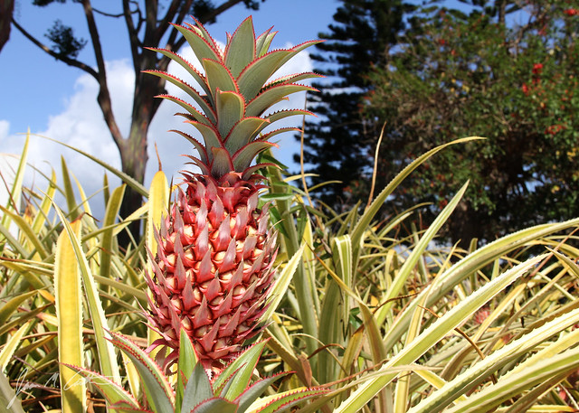 051112 Pineapple Plant