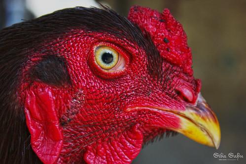 cock by sibasahu