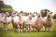Pretty Sheep - Day 41/365